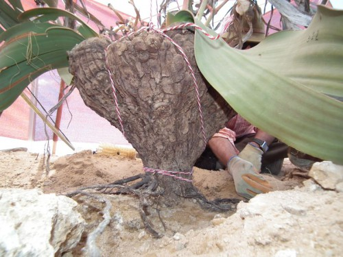 Welwitschia dig